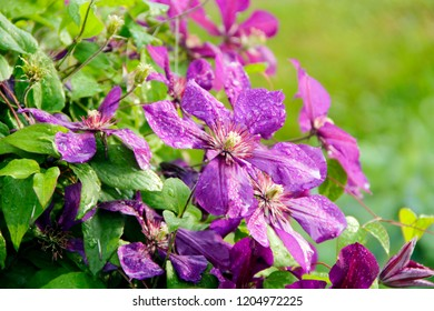 Beautiful flowers of blossoming violet clematis with droplets of rain. Big bush of clematis growing in garden. Clematis after rain. Beautiful purple clematis blossom