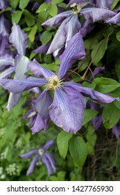 Beautiful flowers of blossoming violet clematis with droplets of rain. Big bush of clematis growing in garden. Clematis after rain. Beautiful purple clematis blossom.