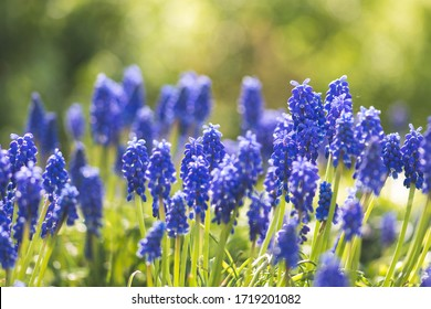 Beautiful flowers, blue grape hyacinth or bluebells, muscari flower in spring, perennial bulbous plants, close up