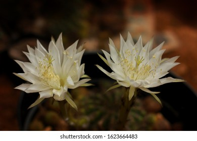 beautiful flowers cactus plants that are white in bloom