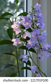 Beautiful flowers of campanula persicifolia in sunny morning. Garden on the balcony.