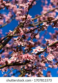 Beautiful flowers of cherry blossoms. Picture taken on a sunny day.