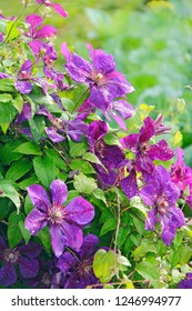 Beautiful flowers of clematis near house. Big bush of clematis growing in garden. Clematis climbing in garden near house. Beautiful purple clematis blossom