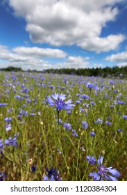 Beautiful flowers of cornflowers grow on the summer field