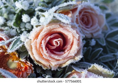 Beautiful flowers covered with frost/Frosty beautiful flowers