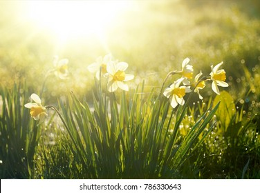 Beautiful flowers of daffodils narcissus glow in morning at sunrise in golden rays of sunshine, grass, garden, nature, spring, droplets of dew, close-up, free space for text.