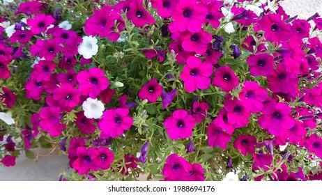 Beautiful flowers in daylight, Linum grandiflorum rubrum