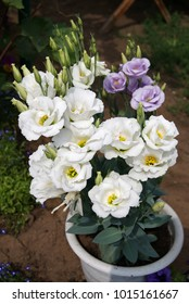 Beautiful flowers of eustoma in a garden pot.