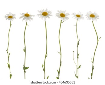 beautiful flowers field of daisies, with white soft petals and a bright yellow center, on a thin green stems on a white background isolation