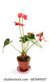 Beautiful flowers of home indoor decorative plants anthurium