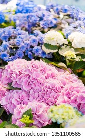 Beautiful Flowers (Hydrangea macrophylla) or Hortensia flower is blooming. close up, Blurred background