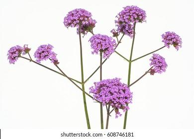 Beautiful flowers isolated of purple verbena.