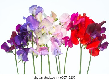 Beautiful flowers isolated of sweet pea. All mix color petals variety.