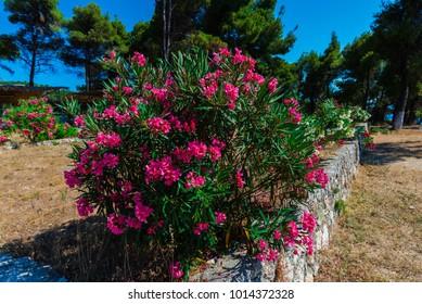 Beautiful flowers in Lefkada island, Greece