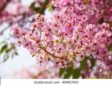 beautiful flowers looks like Inthanin, Queen's flower, Pride of India, Lagerstroemia macrocarpa Wall. middle large tree with beautiful pastel purple flowers and hard shell brown seeds - Shutterstock ID 409857031