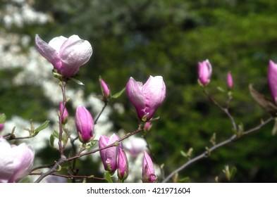 Beautiful Flowers of a Magnolia Tree. soft focus