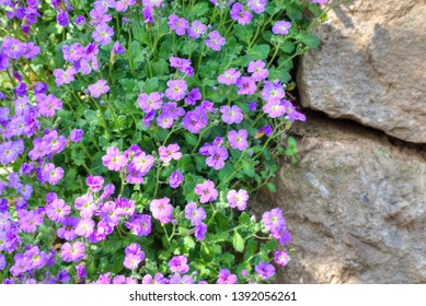 Beautiful flowers of Mirabilis in spring time garden