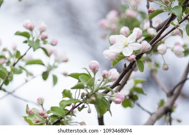 Beautiful flowers on the apple tree in spring, background