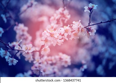 Beautiful flowers on apricot trees in Armenia photographed close-up