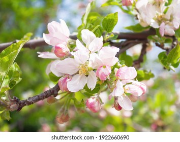 beautiful flowers on a branch of an apple tree against the background of a blurred garden