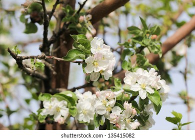 beautiful flowers on a fruit tree