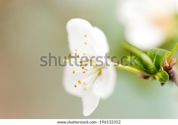 Beautiful flowers on a fruit-tree