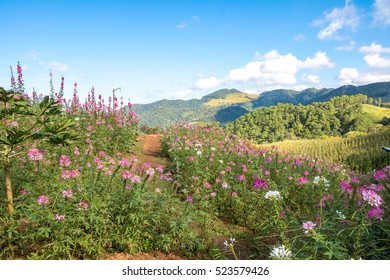 Beautiful flowers on the mountain, blooming under blue sky at Thailand.