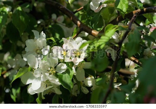 beautiful flowers on the ornamental apple tree