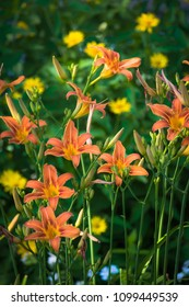 Beautiful flowers of orange lilies in the garden on a summer day.