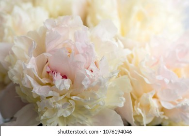 Beautiful flowers, peonies. Bouquet of pink peony background