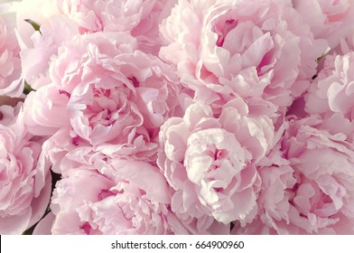Beautiful flowers, peonies. Bouquet of pink peony background.