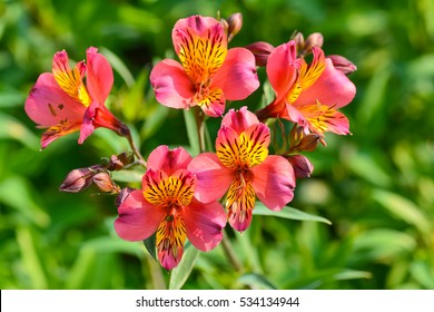 Beautiful flowers of Peruvian lily (ALSTROEMERIA PLANT)