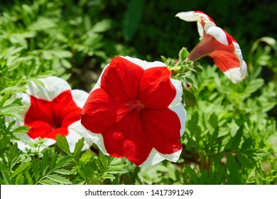Beautiful flowers Petunia hybrid Red Picotee (Red flower with pure white margin).  Red Petunia with bright white edges