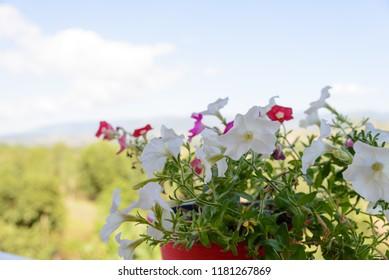 Beautiful flowers of petunias in plastic flowerpot decoration on terrace