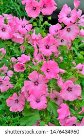 Beautiful flowers of pink  Lavater (malvaceae), or annual, rose, royal or regal  Mallow with leaves in the garden flowerbed close up. Annual Mallow (Lavatera trimestris). Gardening floriculture concep