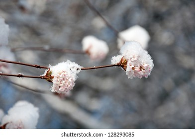 Beautiful flowers of pink viburnum blossom in winter
