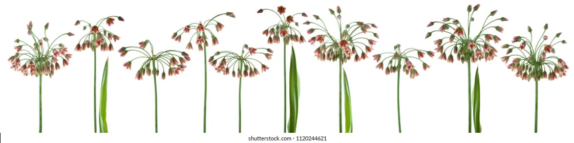 beautiful flowers and plants of Sicilian Honeywell, allium, liver, isolated, can be used as background