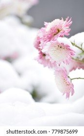 Beautiful flowers under the snow. Pink chrysanthemums.