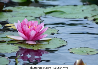 Beautiful flowers of Water lily