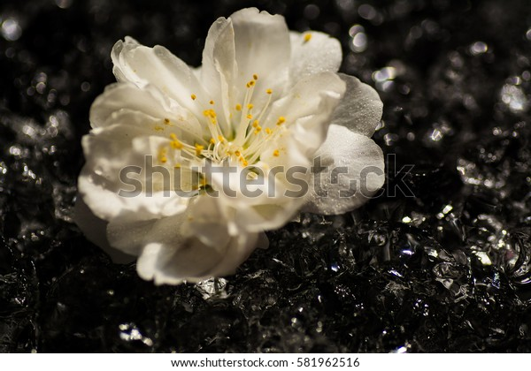 Beautiful flowers of white  cherry blossoms on dark background.