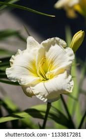 Beautiful flowers of white hybrid daylily hemerocallis closeup