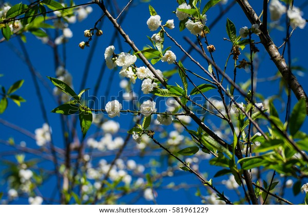 Beautiful flowers of white and pink cherry blossoms.