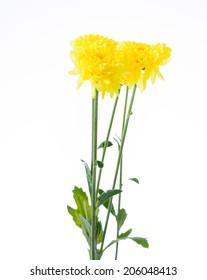 beautiful Flowers Yellow Chrysanthemum in summer