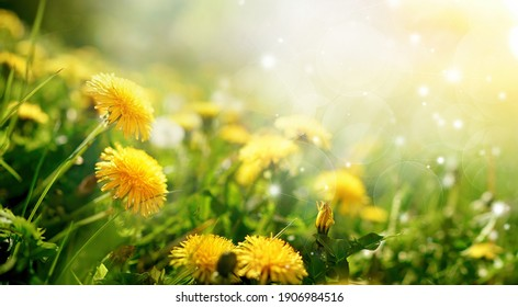 Beautiful flowers of yellow dandelions in nature in warm summer or spring on meadow  in sunlight, macro. Dreamy artistic image of beauty of nature. Soft focus.