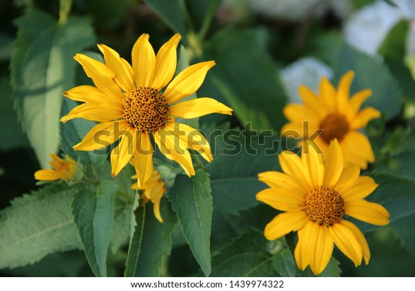 Beautiful Flowers Yellow Echinacea Bright Rays Stock Photo Edit Now 1439974322