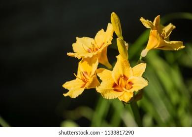 Beautiful flowers of yellow hybrid daylily hemerocallis closeup