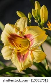 Beautiful flowers of a yellow with red hybrid daylily hemerocallis closeup