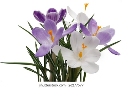 beautiful flowerses of the spring crocus