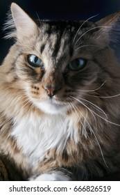 Beautiful fluffy big cat on a black background
