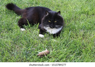 Beautiful fluffy black cat with mouse on lawn